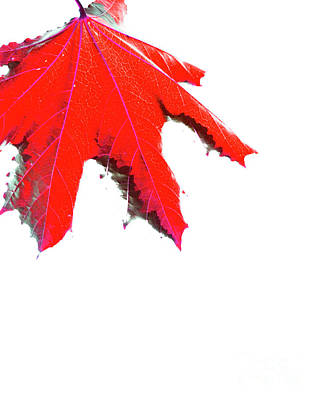Photograph - Maple by Traci Cottingham