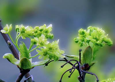 Photograph - Maple Tree 9 by Johanna Hurmerinta