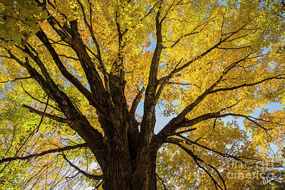 Photograph - Maple Tree by Alana Ranney