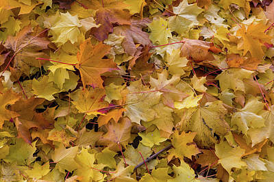 Photograph - Maple Tree Fall Leaves Background by David Gn