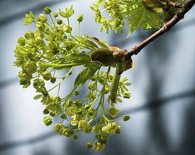 Photograph - Maple Tree Flowers - by Julie Weber
