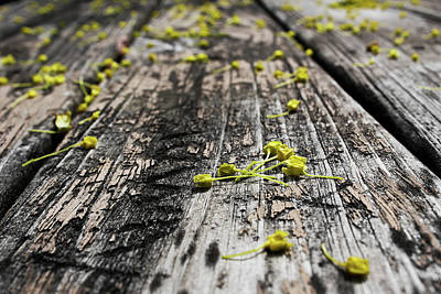 Photograph - Maple Tree Flowers by Shawna Rowe