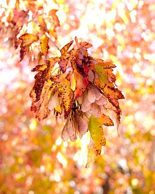 Maple Tree In Autumn Art Print