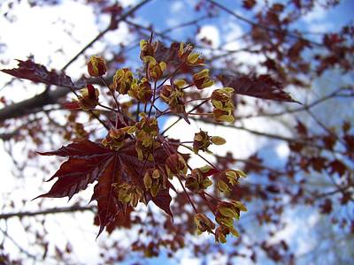 Photograph - Maple Tree In Spring by Angi Parks