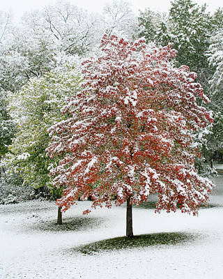 Photograph - Maple Tree In The First Snow by Heidi Hermes