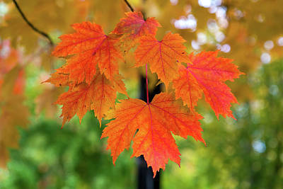 Photograph - Maple Tree Leaves In Fall Color Closeup by David Gn