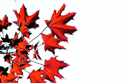 Photograph - Maple Tree by Traci Cottingham