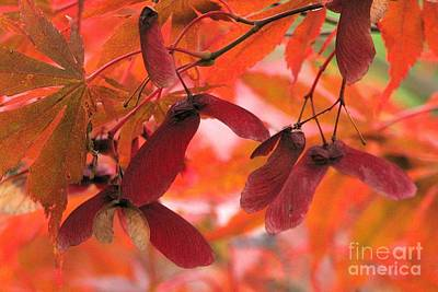 Photograph - Maple Wings by Frank Townsley