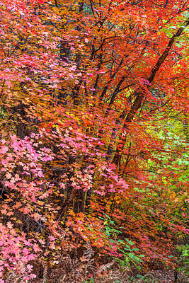 Maples In Pink Print by Jason Keefe