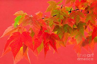 Photograph - Maples In Red by Frank Townsley