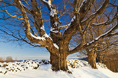 Photograph - Maples In Winter by Alan L Graham