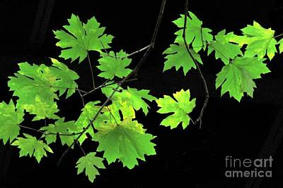 Photograph - Maples Standout by Frank Townsley