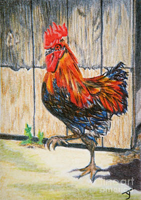 Drawing - Maran Rooster Aceo by Yvonne Johnstone