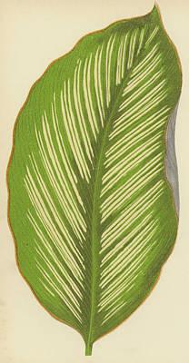 Botanical Drawing - Maranta Alba Lineata by English School