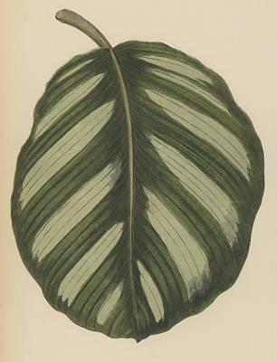 Botanical Drawing - Maranta Fasciata by English School