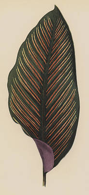 Botanical Drawing - Maranta Regalis by English School