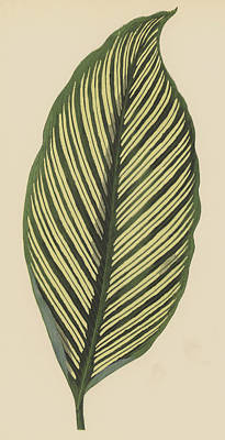 Stripe Drawing - Maranta Vittata by English School