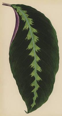 Herbaceous Painting - Maranta Warsewiczii by English School