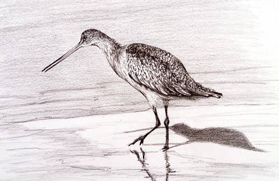 Susan Conner Drawing - Marbeled Godwit by Susan Conner