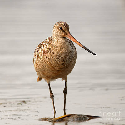 Photograph - Marbled Godwit - Beauty by Sue Harper