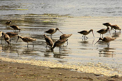 Marbled Godwit Birds At Sunset Art Print by Christine Till