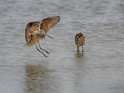 Photograph - Marbled Godwit by Charles McKelroy