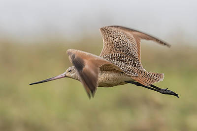 Tijuana Photograph - Marbled Godwit Flight by Morris Finkelstein