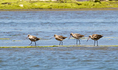 Photograph - Marbled Godwits In A Row by Phil Stone