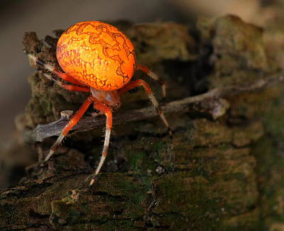 Marbled Orb Weaver Spider Art Print by Rosanne Jordan