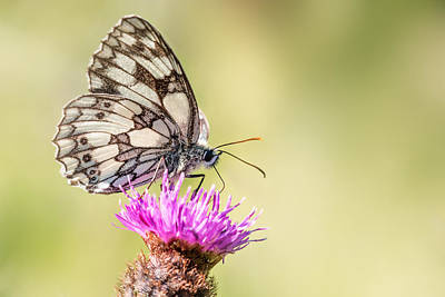Thistle Photograph - Marbled White Butterfly by Ian Hufton