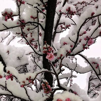 Photograph - March Blossoms In Snow by Phyllis Kaltenbach