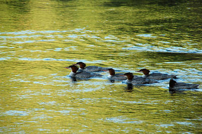 Photograph - March Of The Mergansers by Donna Blackhall