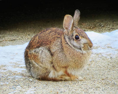 Photograph - March Rabbit by MTBobbins Photography
