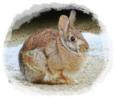 Photograph - March Rabbit With Vignette by MTBobbins Photography