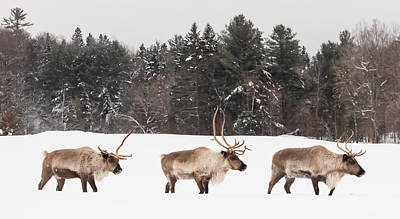 Photograph - Marching Caribou by Josef Pittner