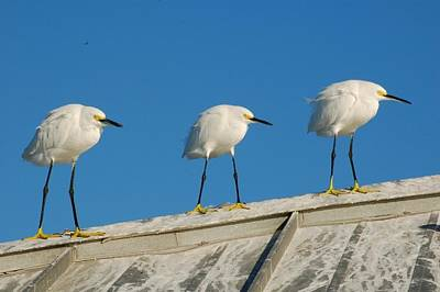 Photograph - Marching Forward Snowy Egrets by Michael Raiman