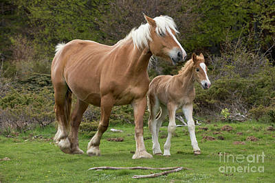 Photograph - Mare And Foal In France by Yva Momatiuk John Eastcott
