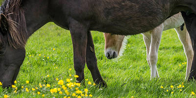 Mare And New Born Foal Grazing, Iceland Art Print