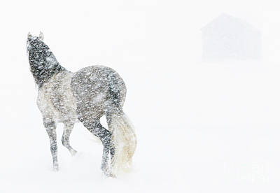 Mare In A Blizzard II Print by Carol Walker