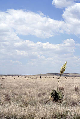 Photograph - Marfa Yucca by Alycia Christine