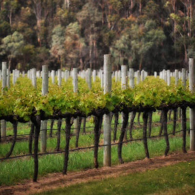 Margaret River Vines Art Print by Phill Petrovic