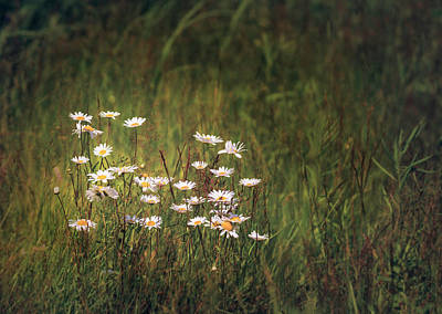 Photograph - Marguerites In Summer Meadow by Peter V Quenter