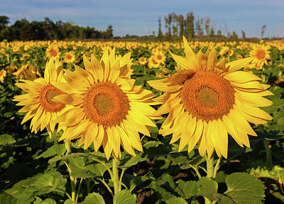Photograph - Maria's Sunflower Field by Lon Dittrick