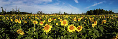 Photograph - Maria's Sunflower Field Pano by Lon Dittrick