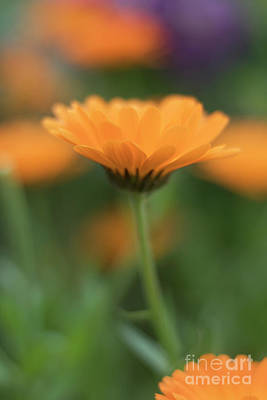 Photograph - Marigold Bokeh by Terri Waters