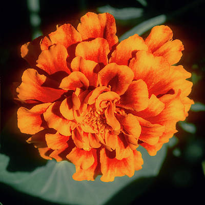 Photograph - Marigold Closeup by John Brink