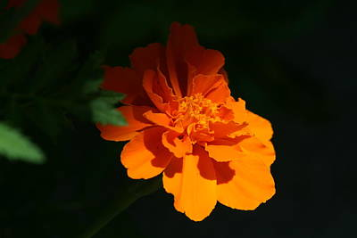 Photograph - Marigold In Sunshine And Shadow by Bonnie Boden