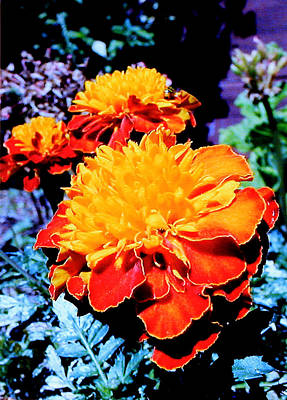 Photograph - Marigold In The Sunlight by John Lautermilch