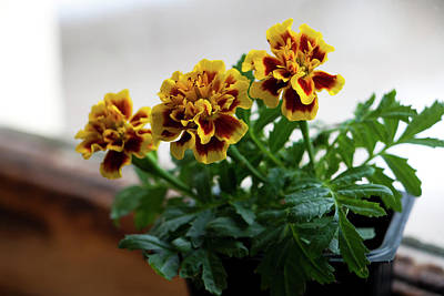 Photograph - Marigold In Winter by Jeff Severson