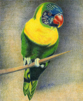 Drawing - Marigold Lorikeet by Dustin Miller